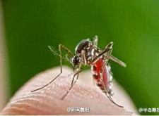 傳南非發現新種蚊蟲 吸脂不吸血